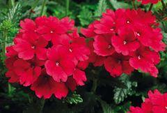 Tuscany Scarlet (Verbena/primed)
