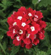 Tuscany Scarlet with eye (Hybrid Verbena Primed)