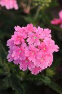 Quartz XP Pink (Verbena/primed)