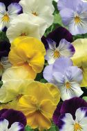 Cool Wave Mix (Pansy/primed)