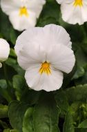 Cool Wave White (Pansy/primed)