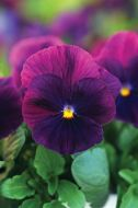 Cool Wave Purple (Pansy/primed)