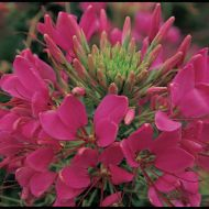 Sparkler Rose (Cleome)