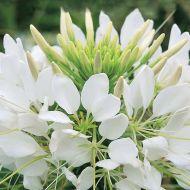 Sparkler White (Cleome)