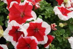 Limbo GP Red Picotee (Petunia/grandiflora/pelleted)