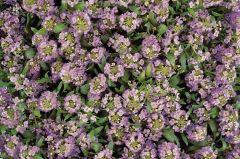 Easter Bonnet Lavender (Coated Alyssum)
