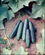 Marketmore 76 (Cucumber/slicing/untreated)