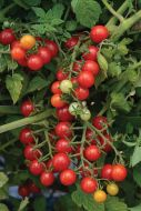 Candyland (Red Currant Tomato/untreated)