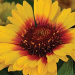 August Sowing Perennials